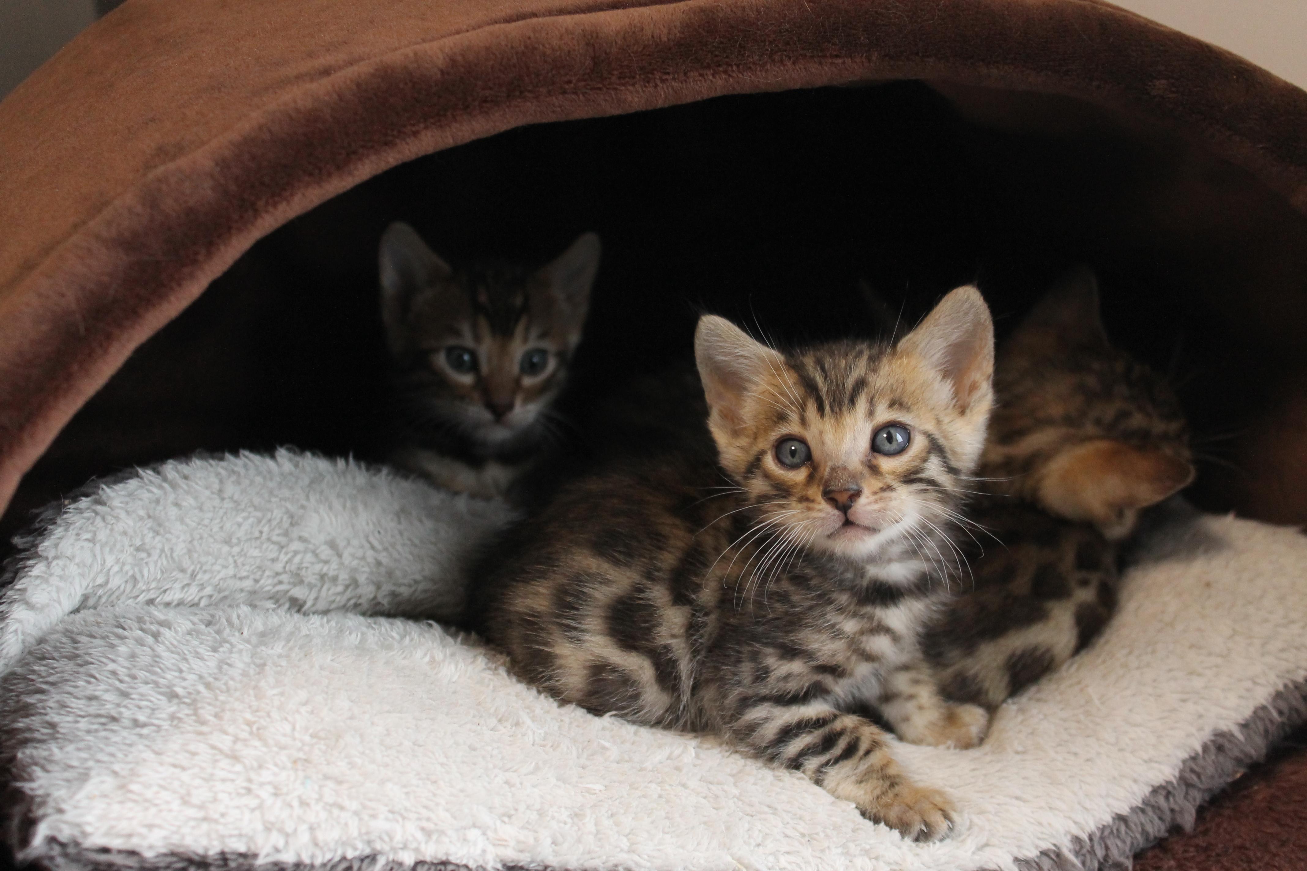 夜の猫ちゃん達♬ | ベンガル猫、ベンガル子猫、ベンガル猫ブリーダー|ベルアンジュ