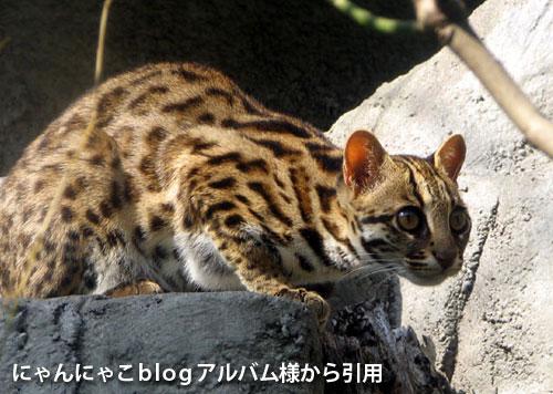 ベンガル猫とは、にゃんにゃこblogアルバム様から引用