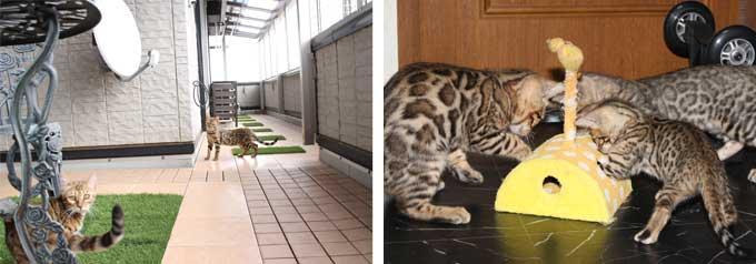 ベンガル猫の多頭飼いメリット