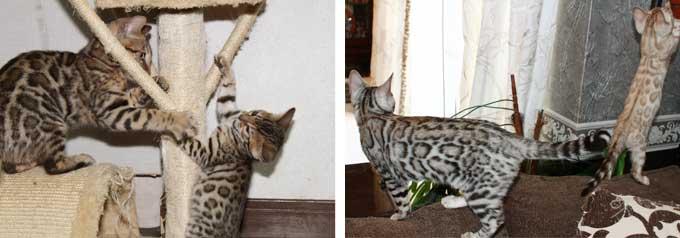 ベンガル猫の多頭飼いデメリット