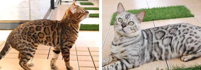 ベンガル猫の特徴
